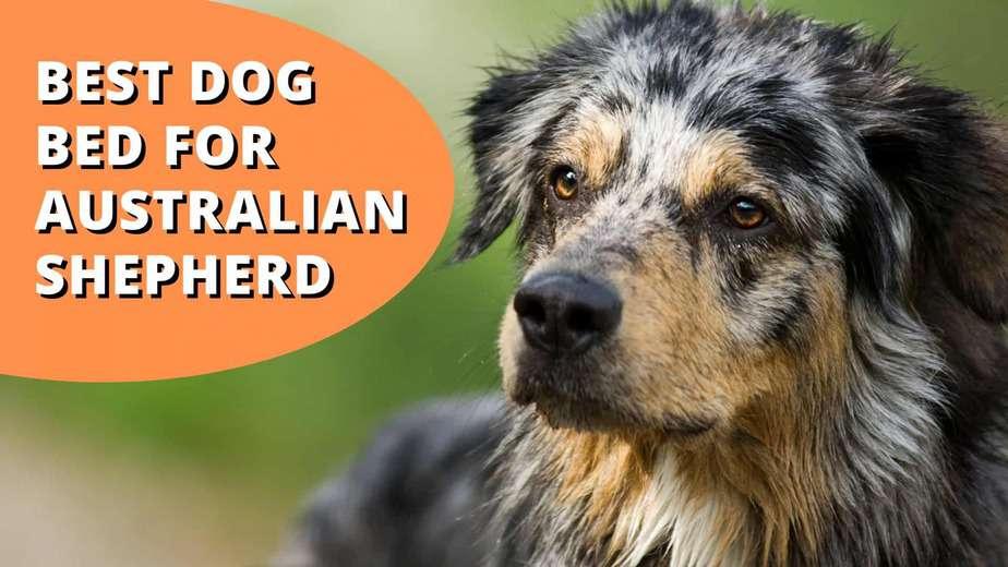 best dog bed for australian shepherd