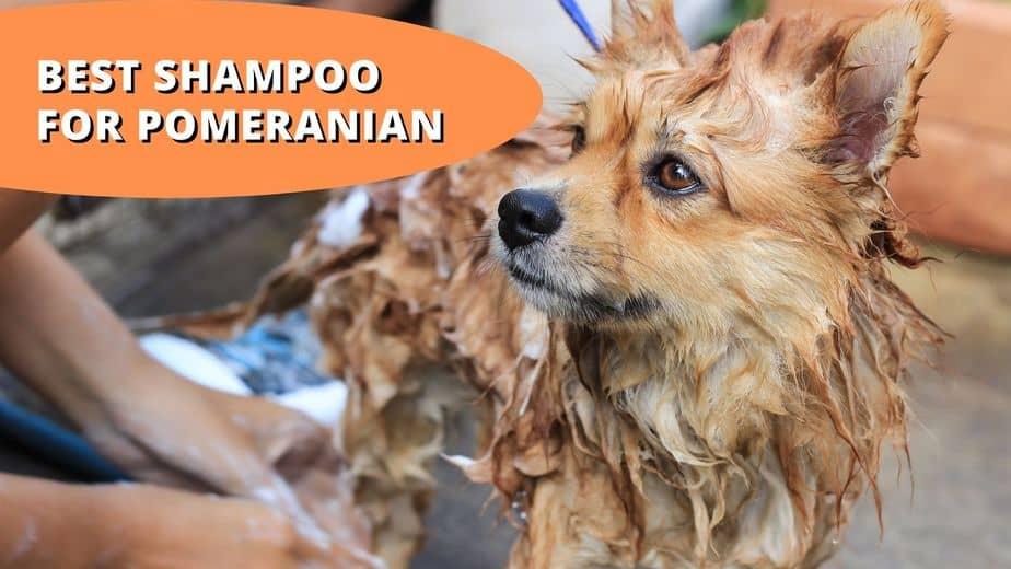 best shampoo for pomeranian