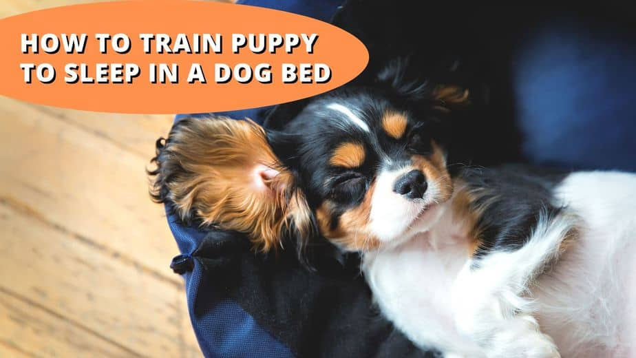 how to train puppy to sleep in dog bed