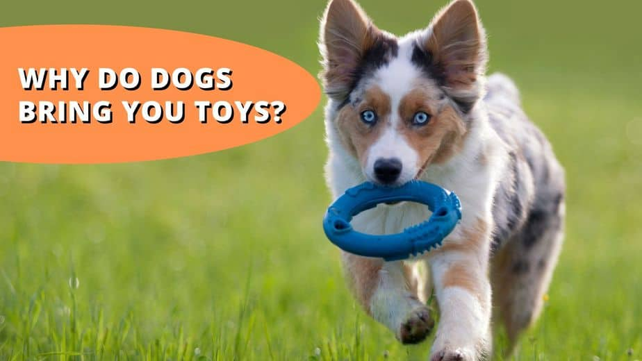 why do dogs bring you toys