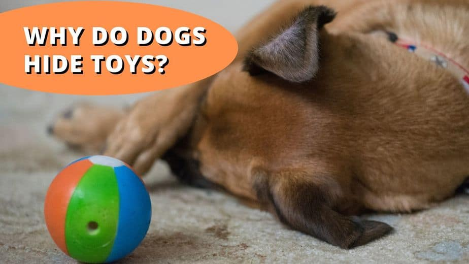 Why Do Dogs Hide Toys
